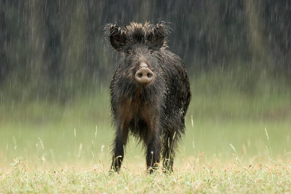 Szemtanú Vaddisznó az esőben
