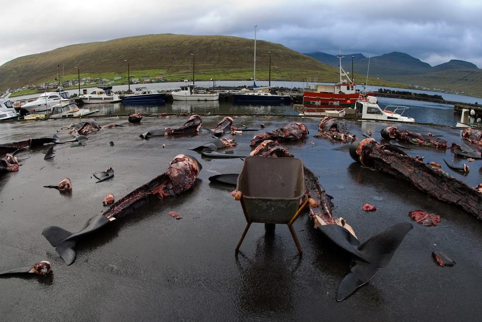 Néma Döbbenet Közönséges delfinek megcsonkított tetemei a Feröer-szigeteken