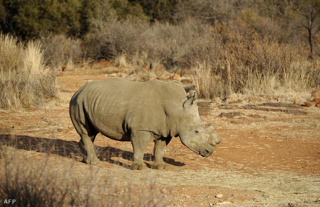 Lefűrészelt szarvú délnyugat-afrikai fekete rinocérosz Dél-Afrikában, 2012 augusztusában - a nyugat-afrikai alfaj ehhez nagyon hasonló volt.