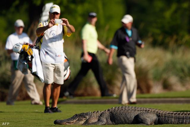 Ez nem az a krokodil, amelyik Dougie Thomsont megtámadta. Ez az állat New Orleans egyik golfpályáján tűnt fel, 2013. augusztusában. A pályákon található vízzel teli medencék (vízakadályok) vonzzák a hüllőket.