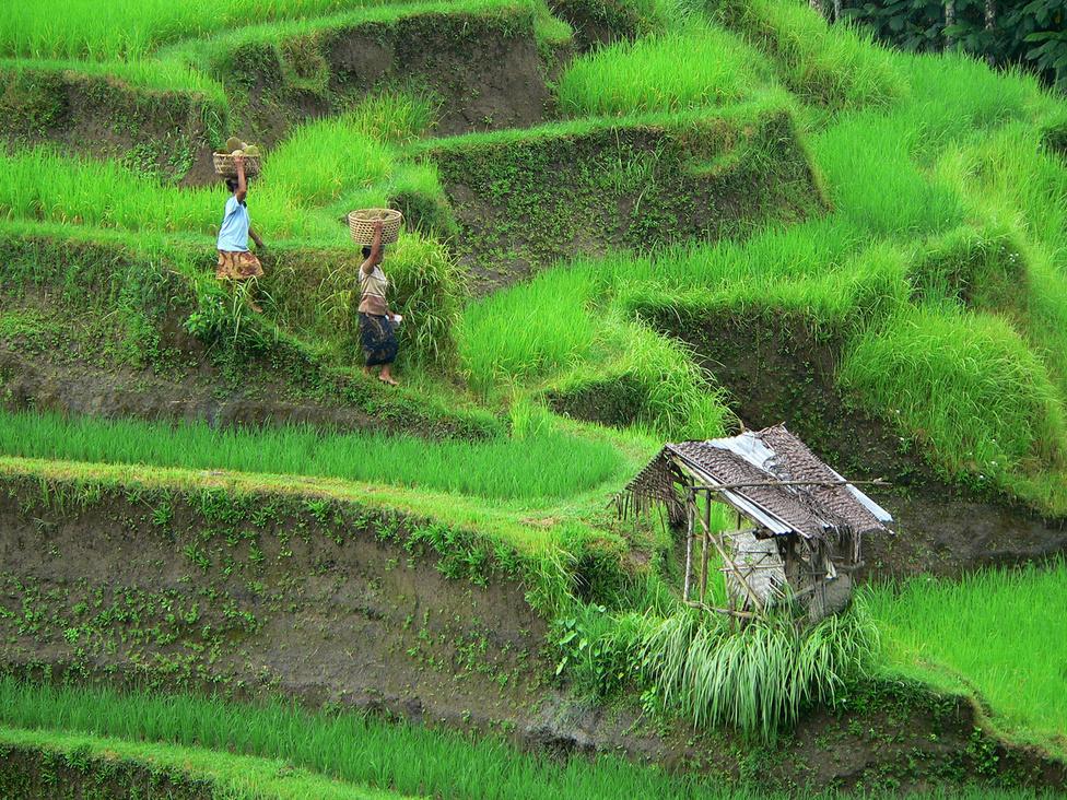 Ez nem photsohop: a fiatal rizsnövény színe tényleg ilyen intenzív. Balin a mezőgazdaságban dolgoznak a legtöbben, a falvakat körülvevő termőföldeken szorgalmas munka folyik. A rizstermesztés különösen a hegyvidéki, teraszos ültetvényeken teszi próbára az embert, hiszen egyes területeket járművel meg se lehet közelíteni. Marad hát a gyaloglás, a cipekedés, a kézi munka - és mindez szinte folyamatosan, hiszen az egyenlítő közelében fekvő sziget legjobb termőterületein évente háromszor vetnek és aratnak