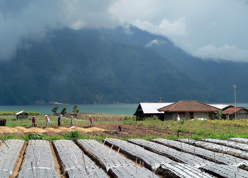 Farm a Batur vulkán lábánál. A kicsit hűvösebb hegyvidéki régióban nagyon kedvező a klíma a zöldségtermesztésre, ami évszakok híján szintén folyamatos. Az előtérben trágyával dúsított, fóliával takart kész ágyásokat látunk, a háttérben további ágyásokat alakítanak ki. A Batur-tó túlpartján látható faluba nem vezet autóút, a közlekedés legkényelmesebb eszköze a csónak és a hajó