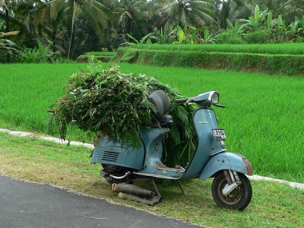 Egy Vespa, mint abrakszállító munkagép. A tejadó teheneket, a munkára fogott ökröket Balin nem szabad területeken legeltetik, hanem többnyire a rizsföldek között felhúzott kis istállókban tartják. Az élelmezésük ezért napi szintű, rendszeres feladat. Mivel a trópusi szigeten folyamatosan aktívak a növények, nincs szükség szénára, bármikor lehet gyűjteni egy kis friss sarjút a háziállatoknak