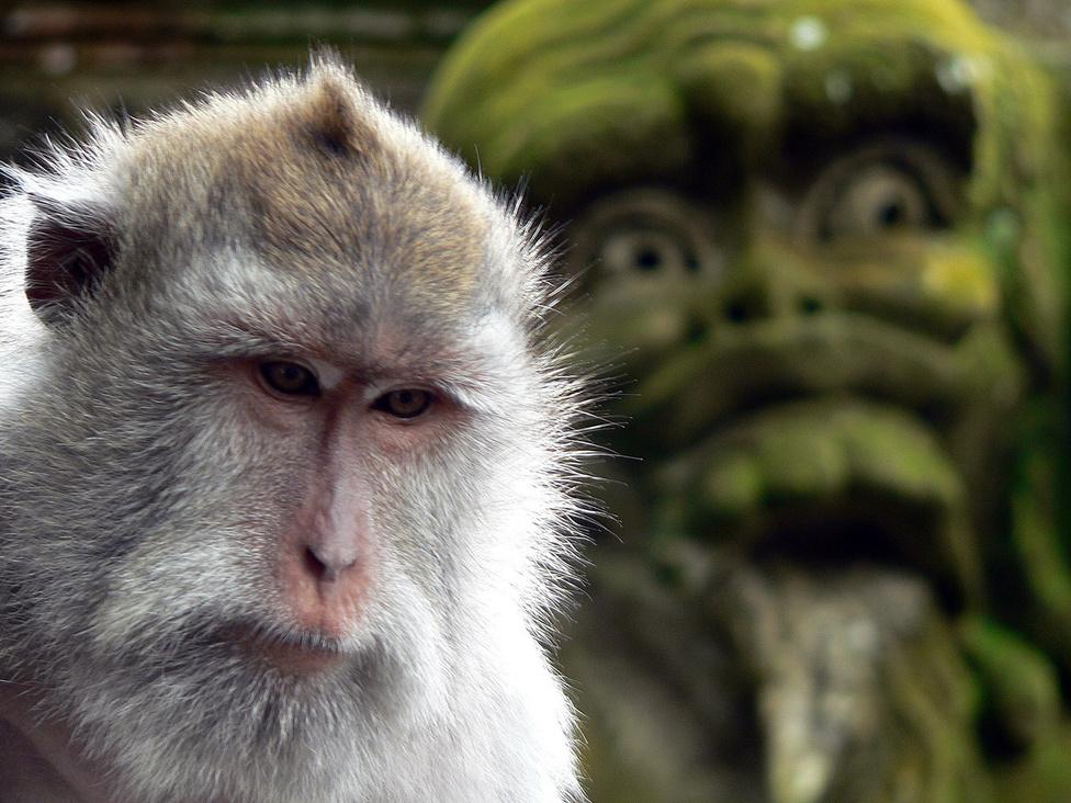 És most fellebben a fátyol a titokról, hogy vajon miről mintázták különös szobraikat a balinézek… A sziget majmai mára idegenforgalmi látványossággá váltak. Sokan keresik fel az ubudi majomerdőt, vagy az Uluwatu templom környékét. Makákóval barátkozni elsőre jó poénnak tűnik, ám ezek a távoli rokonaink eléggé kiszámíthatatlanok, egyik-pillanatról a másikra agresszívvé tudnak válni. Ha ételt látnak a kezünkben, azonnal rárabolnak, de viszik a szemüveget, útlevelet, ékszert is, mindent, ami a kezük ügyébe kerül