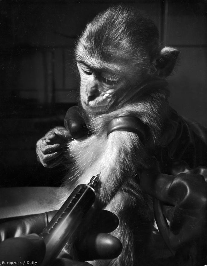 Egy újabb orvosi témájú kép, ezúttal a Notre Dame laboratóriumból: vérmintát vesznek egy majomtól, akit csíramentes környezetben neveltek fel, hogy megvizsgálják, hogyan áll ellen a betegségeknek.