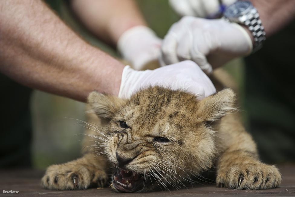 Az állatkert csodás sajtóeseménnyel rukkolt elő április közepén: a Macskák musical sztárjai jelenlétében állapították meg a februárban született kisoroszlánok nemét (ezt hívják szexálásnak), aztán védőoltásokat, féreghajtó pasztát és mikrochipet adtak nekik. A művelethez fél órára külön kellett választani az anyaoroszlánt Shirwane-t és négy kölykét, mert az anyaállat nem engedné, hogy kicsinyeit fogdossák. De nézze meg infografikánkat is, ha tudni szeretné hová érdemes menni, ha babaoroszlánt, bébileopárdot, pici kúszósült, esetleg cuki hiénát szeretne látni.