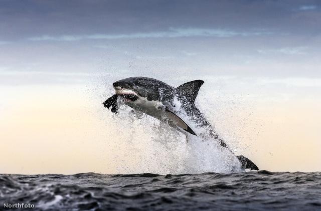 A Fokvároshoz közeli vizeken a fotós 28 hasonló cápatámadást látott egy óra alatt.