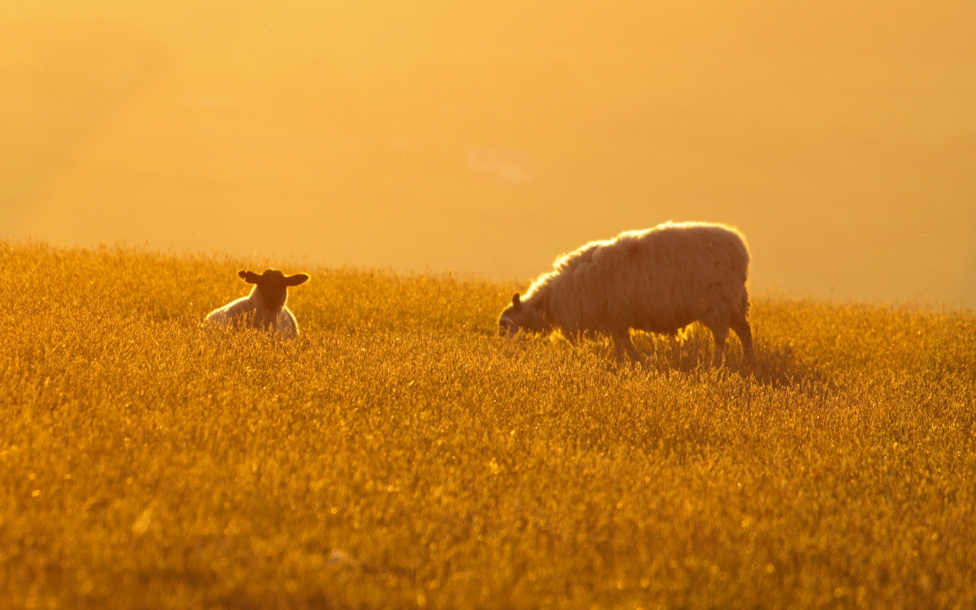A versenyek végeztével már a juhok is nyugodtabban vacsoráznak a naplementében.