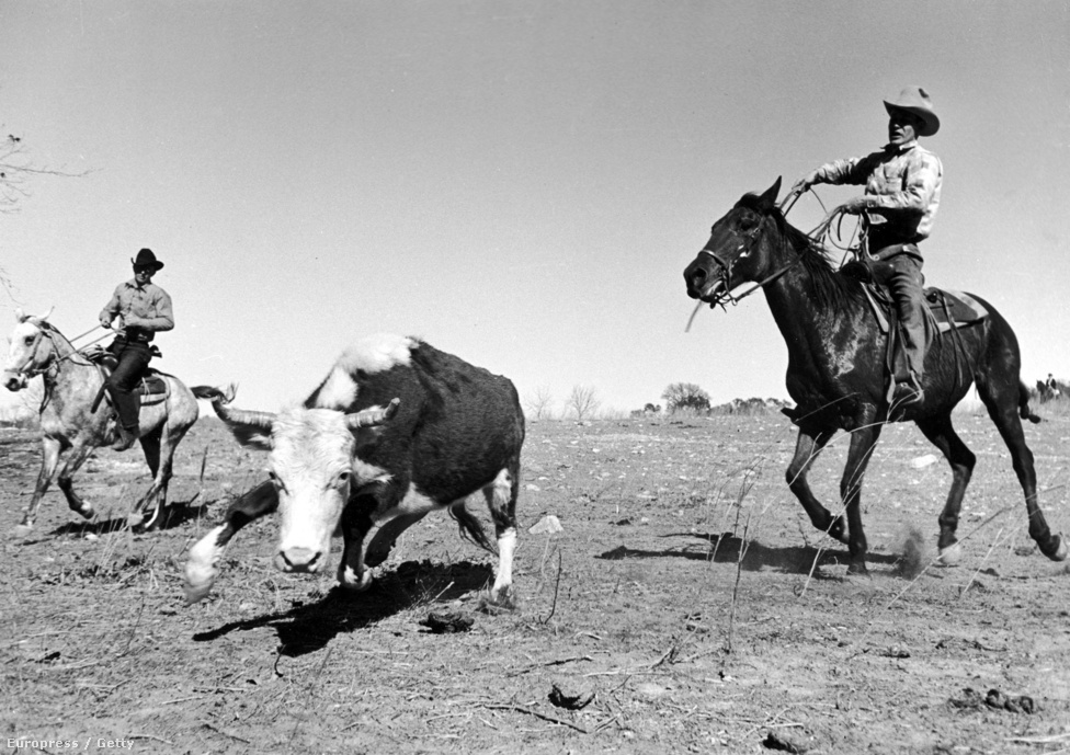Mydanst nagyon érdekelte a vidéki Amerika: a Life magazin előtt egy Farm Security Administration nevű szervezetnek készített képeket sok más híres fotóssal együtt a gyapotföldeken dolgozó munkásokról. Ez a kép, a tehenet befogó cowboyról már a Life számára készült 1937-ben.