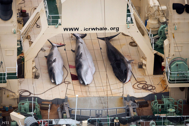A Sea Shepherd Conservation Society ausztrál bálnavédő szervezet által 2014. január 5-én készített felvétel három kimúlt csukabálnáról a Nisshin Maru japán bálnafeldolgozó hajó fedélzetén az antarktiszi Déli-óceánon.