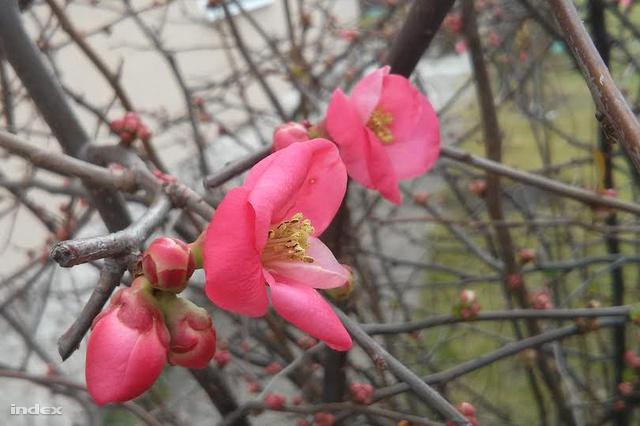 Virágzó japánbirs