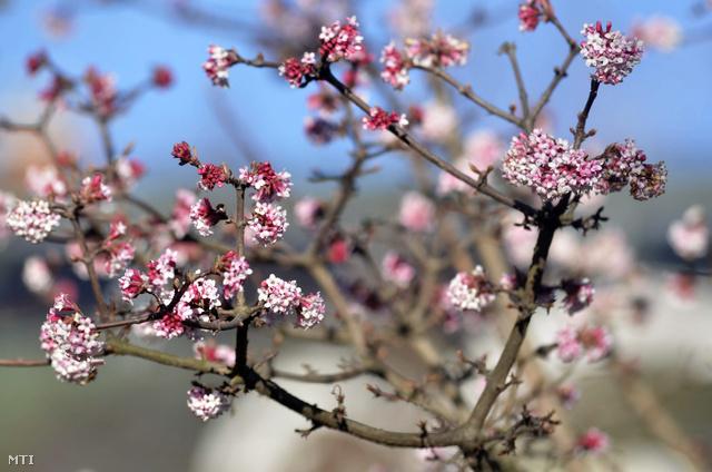 Virágzó kikeleti bangita Szolnokon