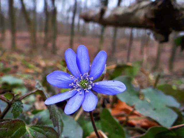 A védett mályvirág is szirmot bontott a Szekszárdi-dombságban