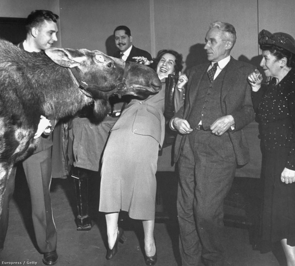 Egy jávorszarvas, egy reklám készítése közben, összeszimatol egy nőt egy rádió épületében. 1948.