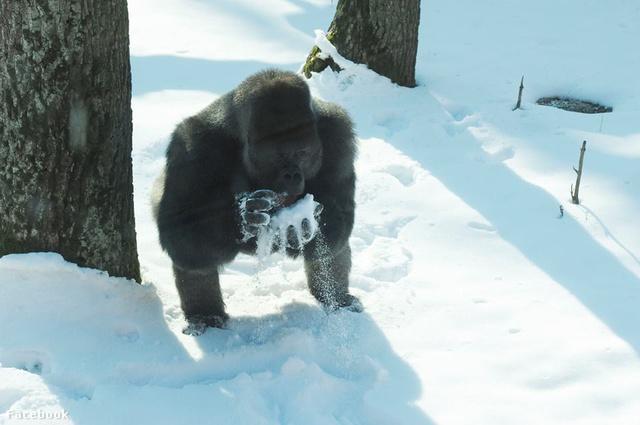 Ízlik neki a hó