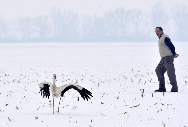 Egy gólya Tiszavárkony határában 2014. január 30-án. A madár nem költözött el és a fagyos havas határban nehezen talál élelmet ezért a településen lakók etetik.