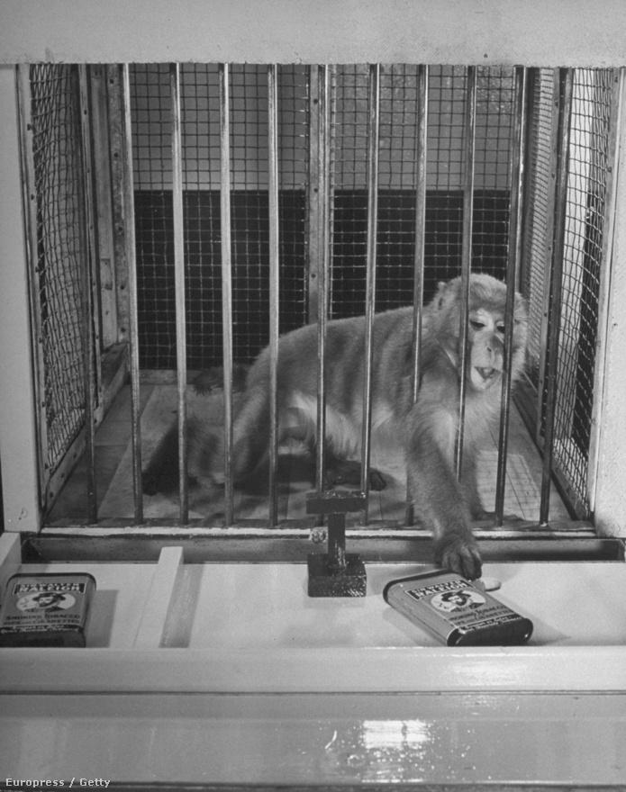 Állatkísérlet majommal a Wisconsin-i Egyetemen. Myron fiatal kora miatt könnyebben tudott elvegyülni az egyetemi közegben, valószínűleg ezért küldte ennyi oktatási témájú riportra a LIFE. Rengeteg képe maradt fenn, amik a tanulás élethelyzetét mutatják be a lehető legeltérőbb környezetekben. Ezekből válogattuk a Nagyképben is.