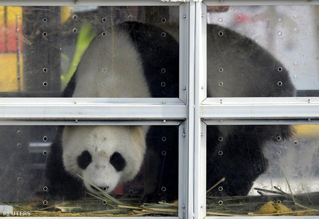 Hao Hao, az egyik panda, aki beköltözik a Pairi Daiza állatkerbe