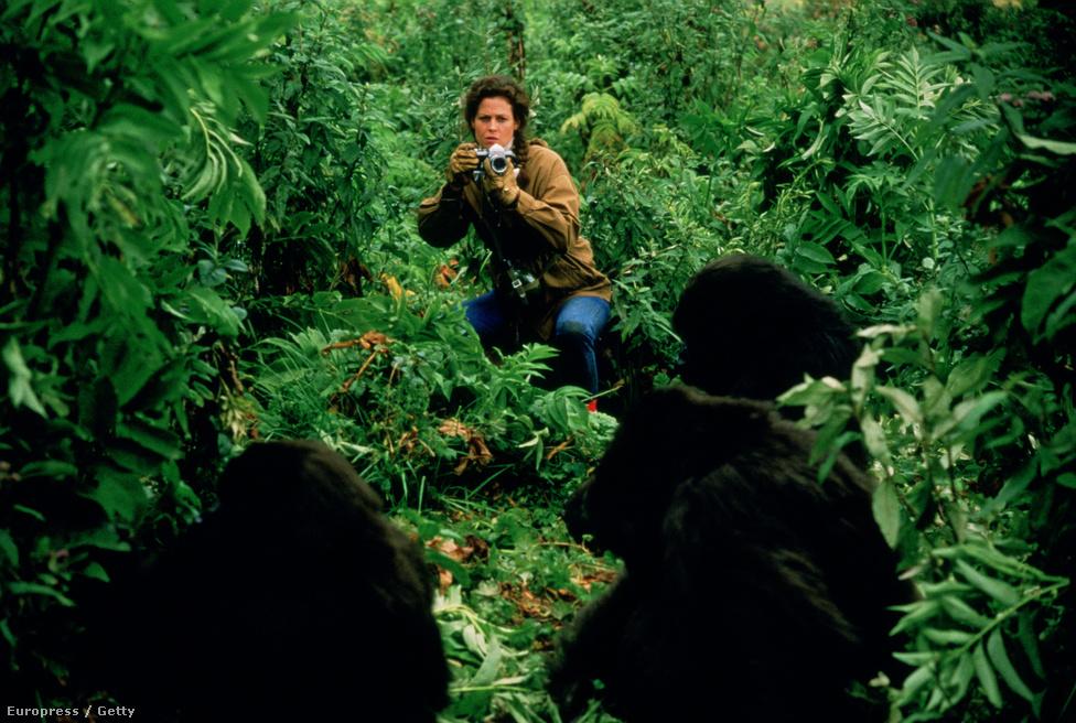 Dian Fossey antopológus 18 éven át tanulmányozta Ruandában a hegyi gorillák viselkedését.  Életéről 1988-ban, Sigourney Weaver főszereplésével készült film Gorillák a ködben címmel, ebből származik a jelenet fotó is. A filmet öt Oscar-díjra jelölték, köztük Sigourney Weavert is alakításáért.