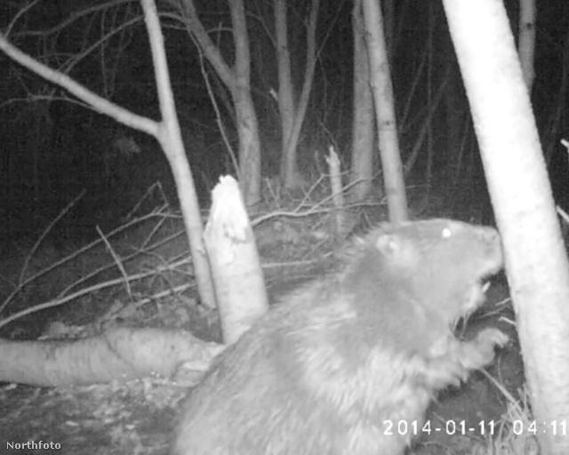 tk3s swns rare beaver 13