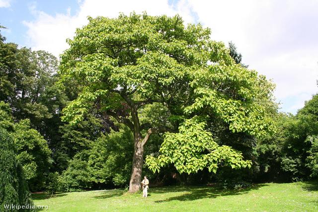 Kínai császárfa
