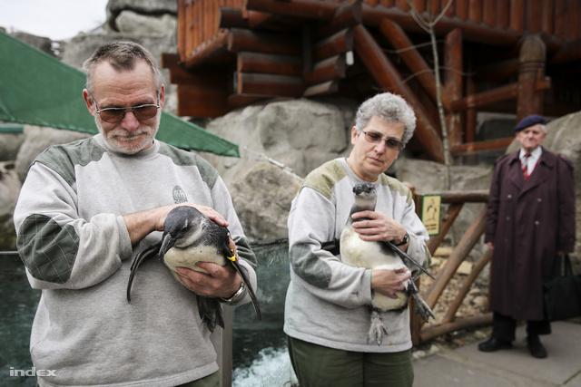 Rico és Elza az Állatkert helyben kikelt pingvinfiókái pénteken álltak először a közönség elé.