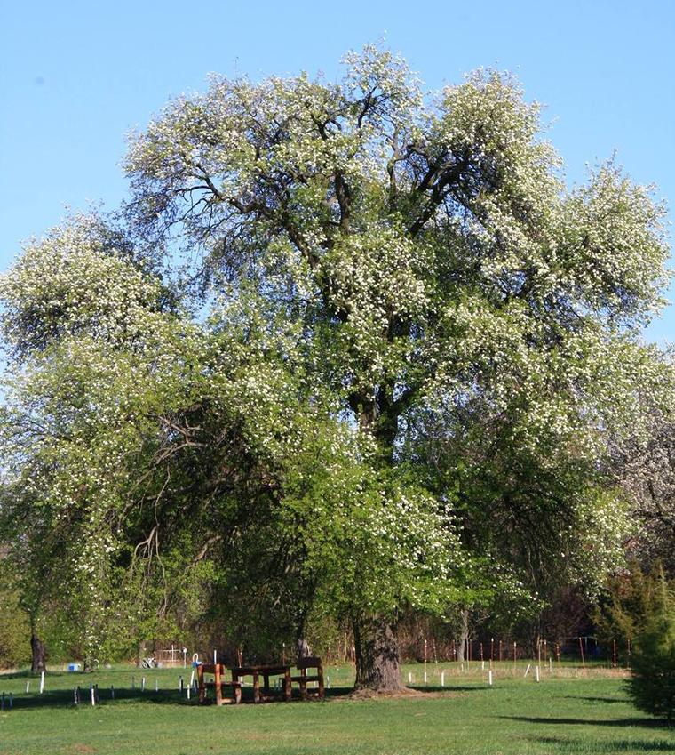 A gödöllői Vén Vackorfa