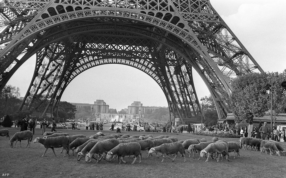 Legelésző birkák a Champ de Mars állomás környékén, az Eiffel-torony lábánál. 1972-es fotó.