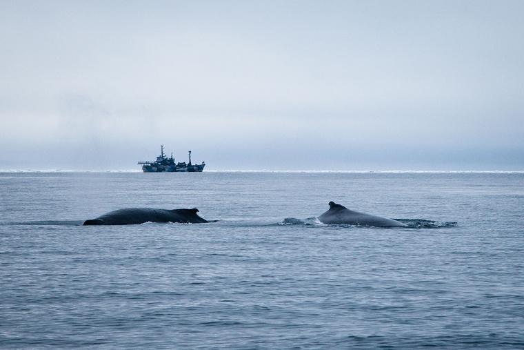 Hosszúszárnyú bálnák, háttérben a Steve Irwin  Copyright Tim Wat