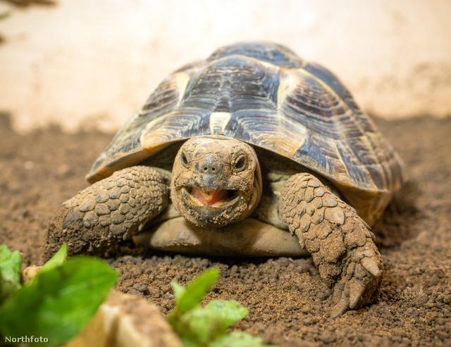 Az ominózus teknős