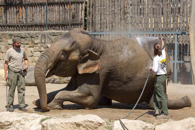 Elefánt hűsöl 2012 nyarán a budapesti állatkertben