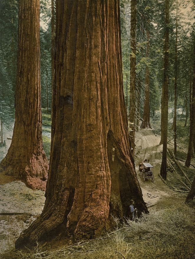 Hatalmas ősfák a Yosemite Nemzeti Parkban