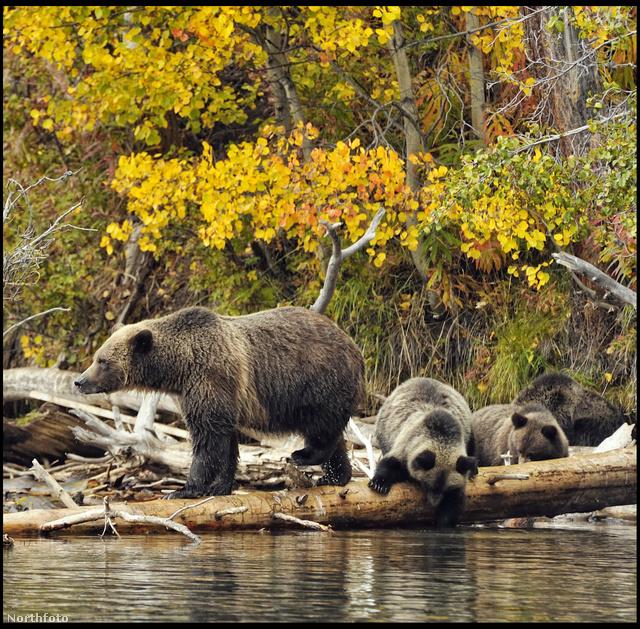 A medvék illusztrációk.