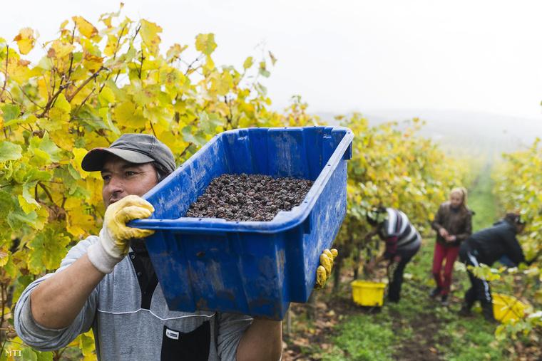 Aszúszüret Tolcsván a Tokaj Kereskedőház szőlőjében