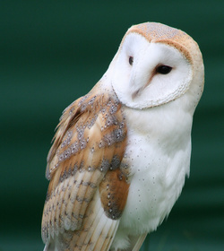 Tyto alba close up