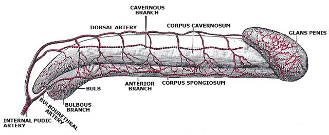 A pénisz és a makk vérellátása