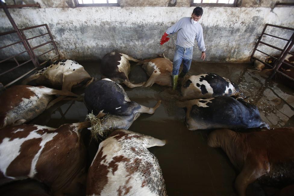 A Száva folyó áradásában elpusztult tehenek tetemeinek elszállítására készül egy parasztgazdaság dolgozója a Szarajevótól 200 kilométerre északra fekvő Bosanski Samac közelében.