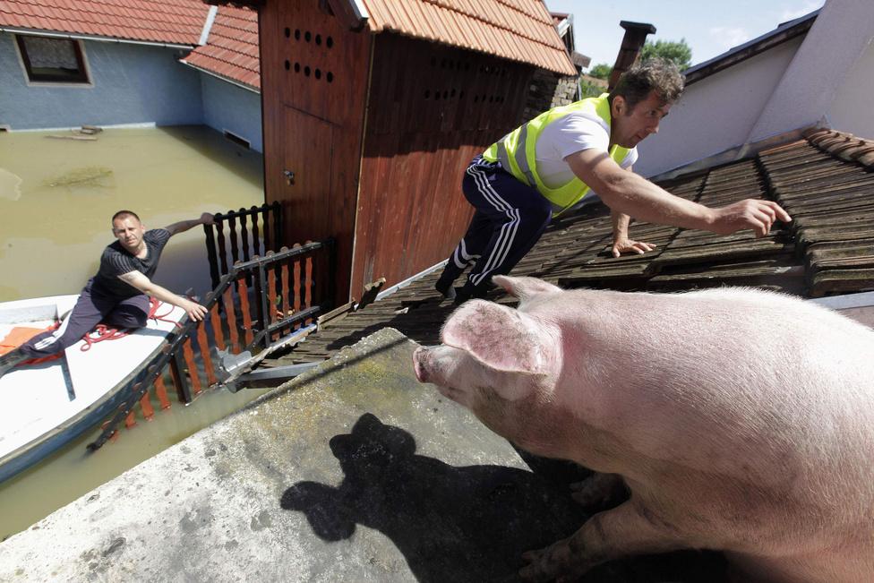 Egy boszniai férfi eteti a tetőre menekített disznóit a szinte teljesen víz alá került Vojskovában.