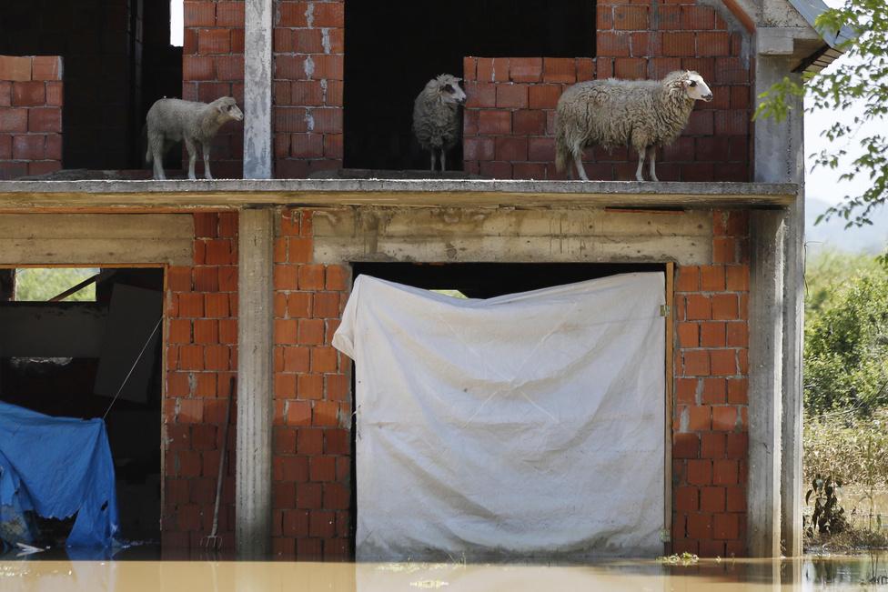 Birkák nézelődnek egy elárasztott ház teraszáról a szerbiai Obrenovacban. A város központjába már az ítéletidő elején betört a víz, a vízszint pedig folyamatosan emelkedett.