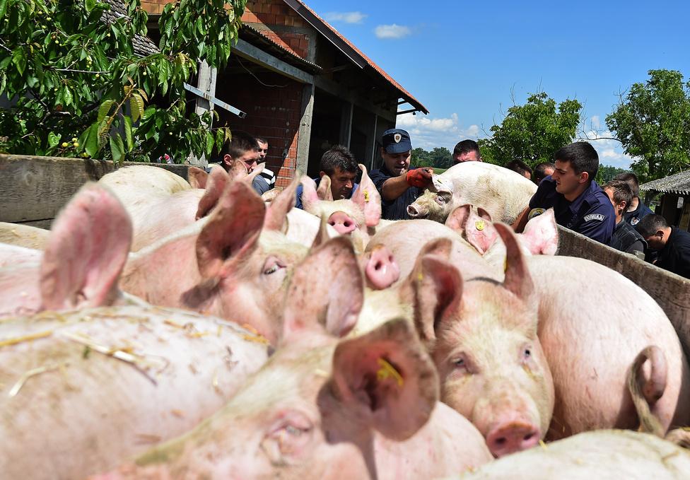Rendőrök segítenek kimenekíteni egy gazdálkodó sertéseit a farmjáról Sremska Raca faluból, 110 kilométerre Belgrádtól.