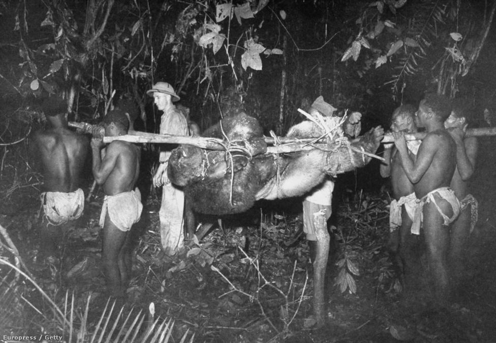 Elejtett állattal tartanak a falujuk felé az őslakosok. 1951-et írunk, Eliot képei húsz évvel a veszélyeztetett állatokat védő rendelet bevezetése előtt készültek. Nagy szerepük volt abban, hogy a nyugati közvélemény nem csak felhőkarcoló tetején tomboló szörnyként ismerje meg a gorillákat.