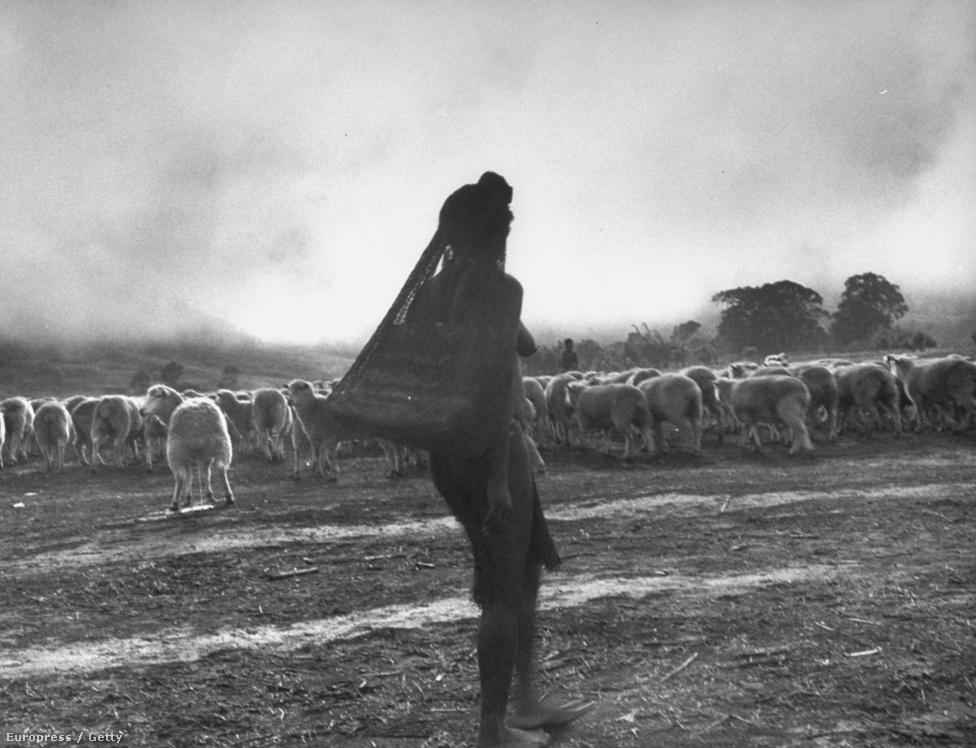 Birkákat legeltet egy Wahgi őslakos