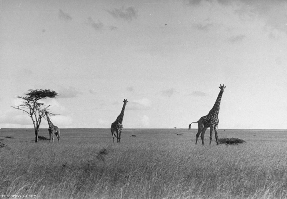 Magányos akácia a szavannán. Ez a kép egyszerre mutat meg minden sztereotípiát Afrikáról. Naplementében fotózott magányos akácia van szinte minden Afrikáról szóló könyv borítóján. Még mindig nehéz elvonatkoztatni attól, hogy Afrika = végtelen füves puszta és piros naplemente.