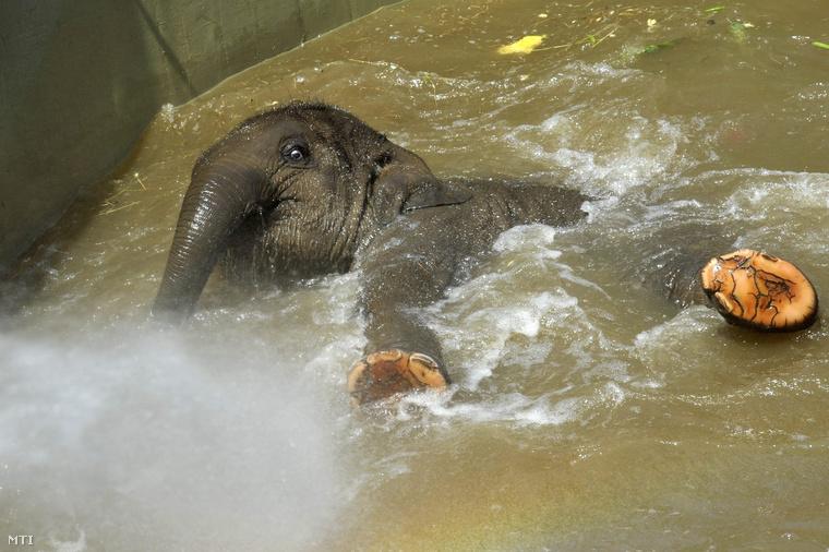 Asha a Fővárosi Állat- és Növénykert kiselefántja fürdik a kánikulában az elefántok kifutójának medencéjében 2014. június 11-én.