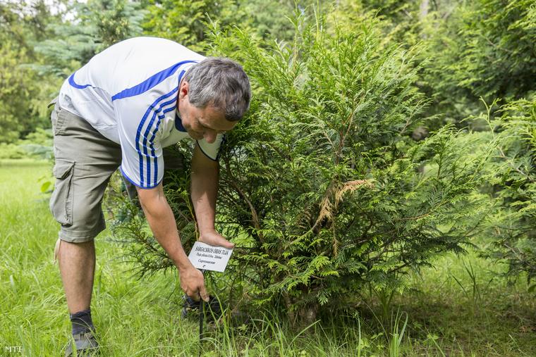 Sárgacsíkos óriás tuja a Szarvasi Arborétumban
