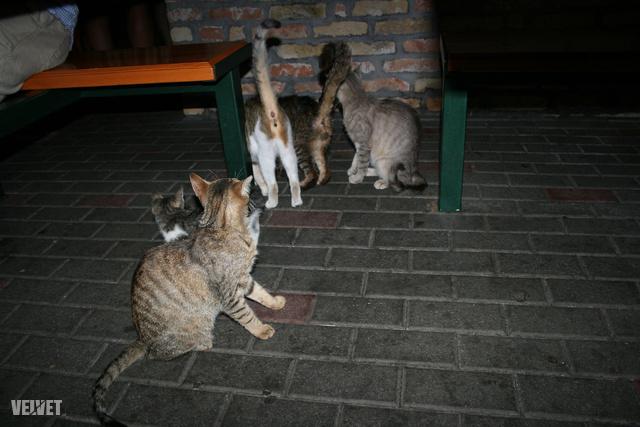 Tavaly augusztusban egy négyzetméterre minimum öt cica jutott.