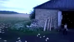 Elképesztő dolgot művel kacsáival az orosz farmer