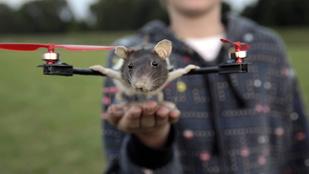 Helikoptert csinált a döglött patkányából