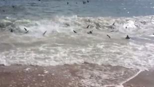 Látott már ennyi cápát egy helyen?