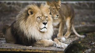 Napi szívszorítás: meghalt a nyíregyházi állatkert első oroszlánja